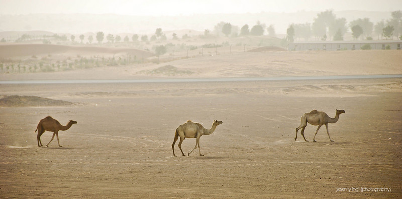 Free roaming camels in Dubai desert