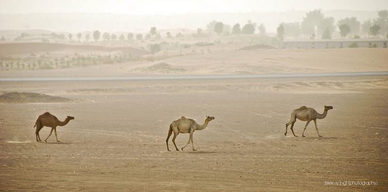 Free roaming camels in Dubai desert
