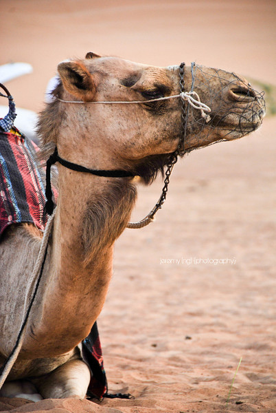 Photo of camel in Dubai Desert